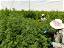 Raising The Bar of African Cannabis Cultivation
